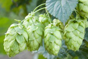 Facts about Marijuana hop cones