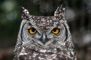 facts about marijuana owls