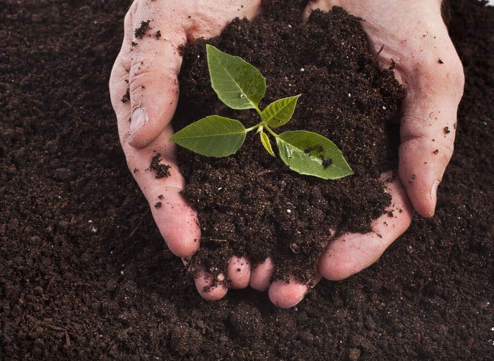 marijuana plant soil