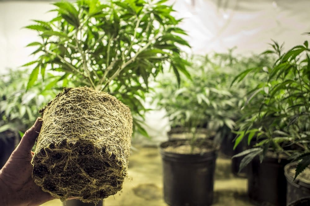 cannabis career grow room