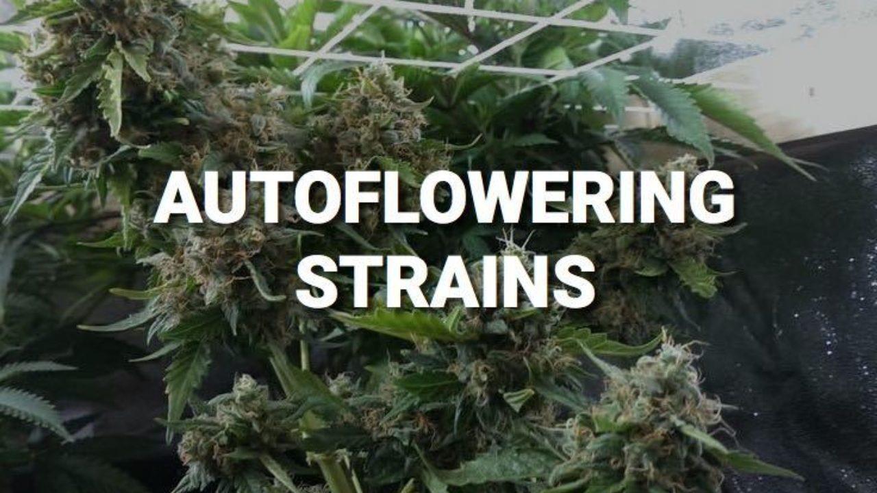 4 Ultimate Autoflowering Strains
