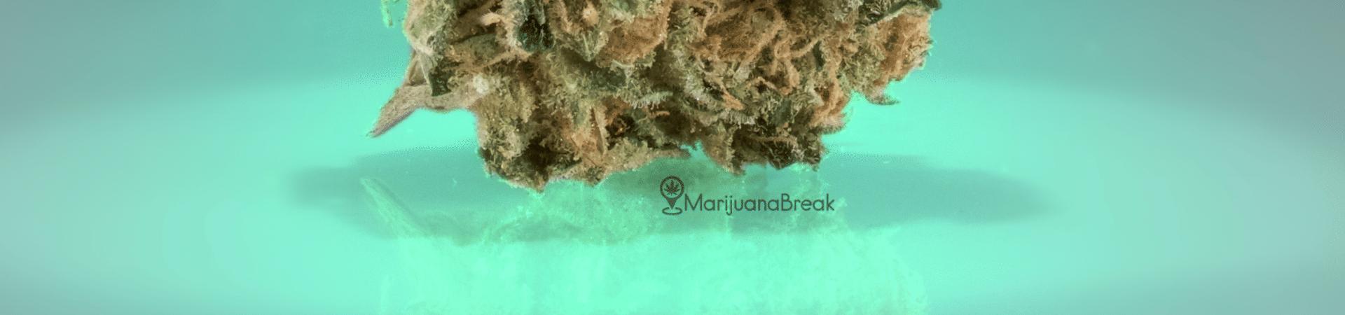 trainwreck marijuana cannabis strain