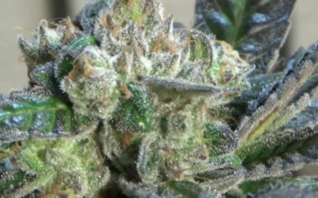 Cannabis Charlottes web
