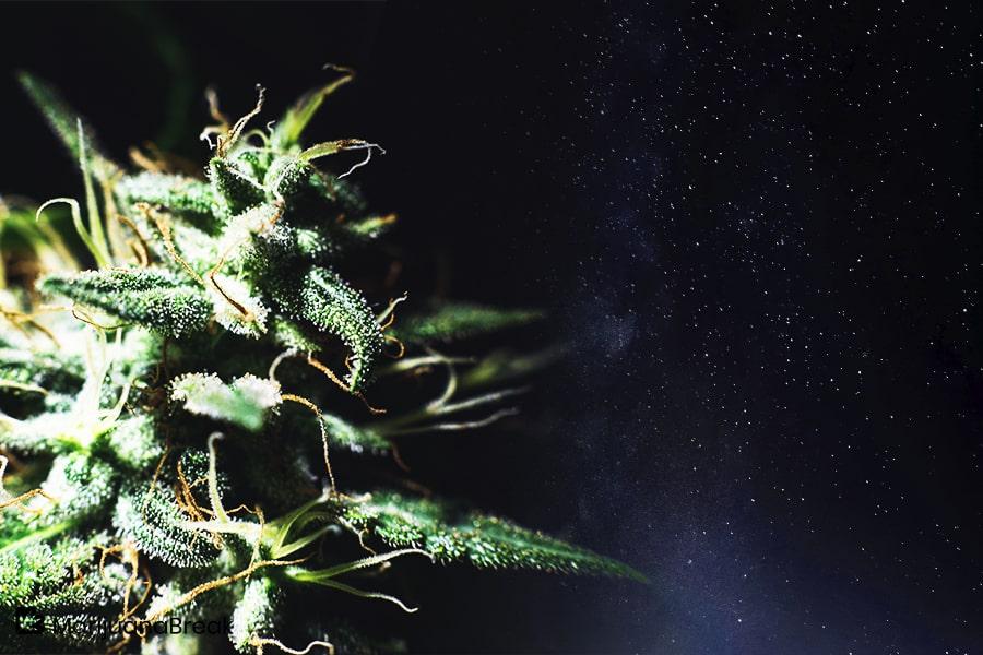 Galactic Jack Cannabis Strain