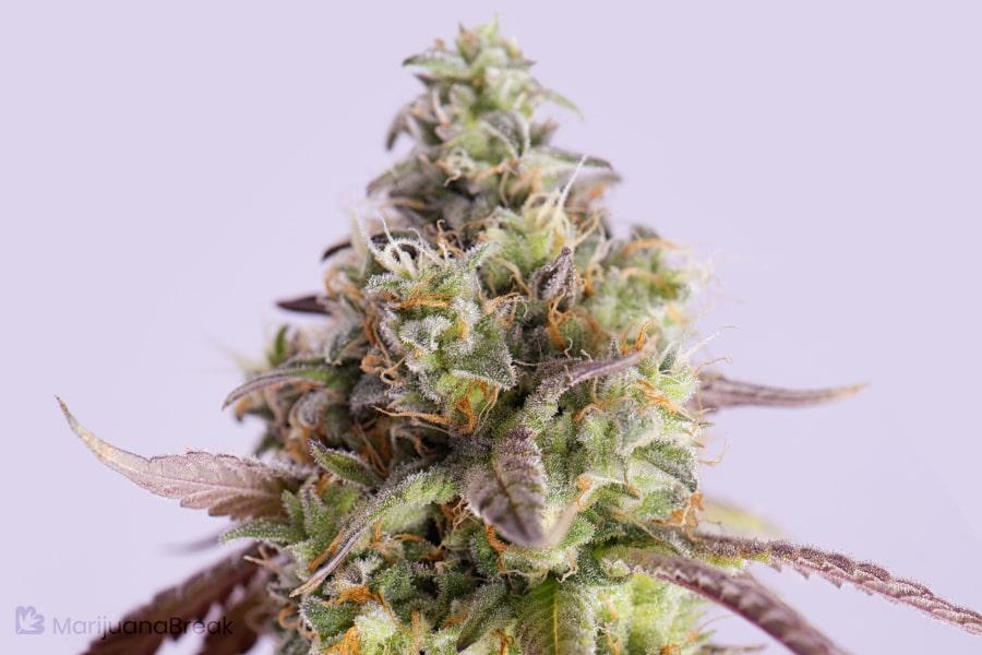 Purple Molokai Frost Marijuana Strain
