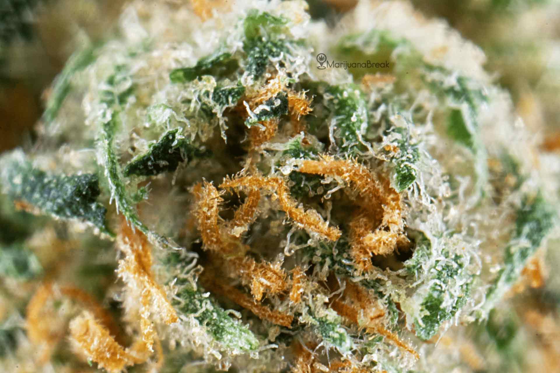 Canna-Tsu Marijuana Strain