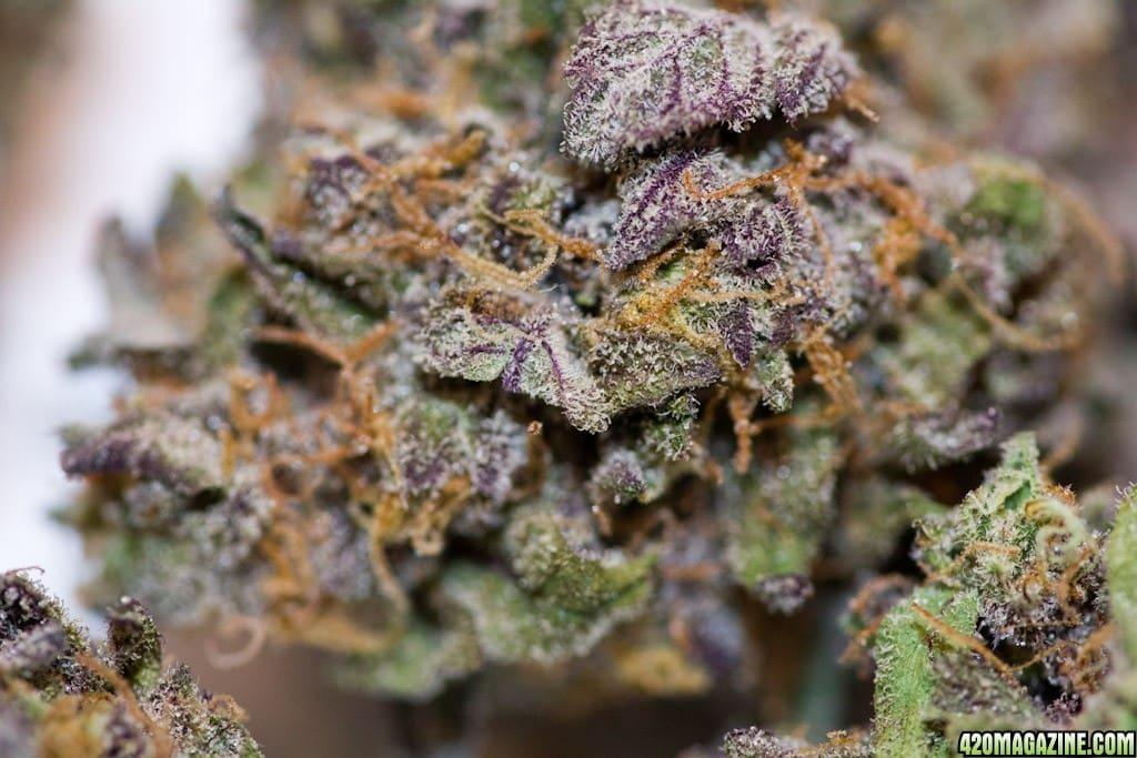 the classic strain: granddaddy purple