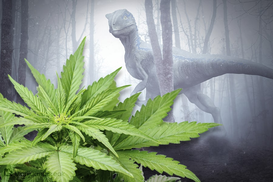 origin of marijuana