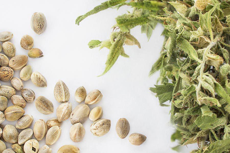germinating weed seeds