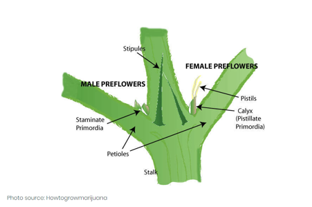 how can you determine a cannabis plant's gender?