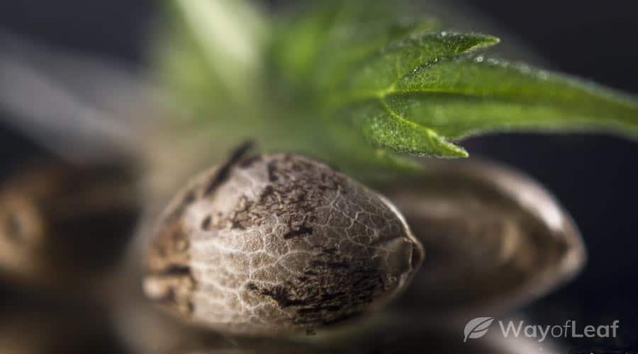 Next Steps: Germinating Your Marijuana Seeds