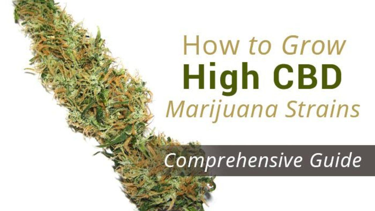 How to Grow High CBD Marijuana Strains?