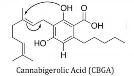 cbga – cannabigerolic acid