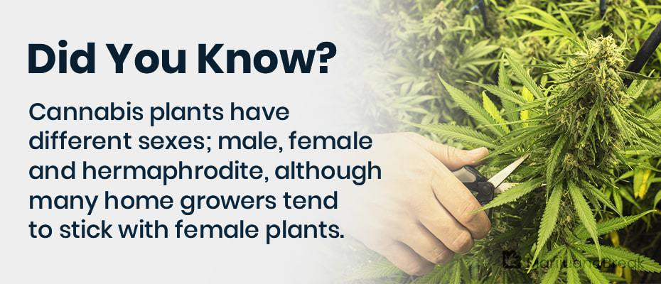 male cannabis plants uses