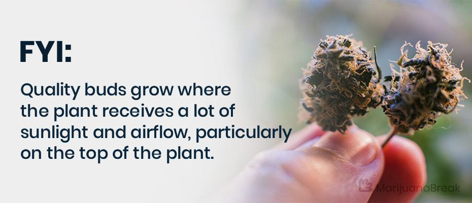 pruning marijuana plants