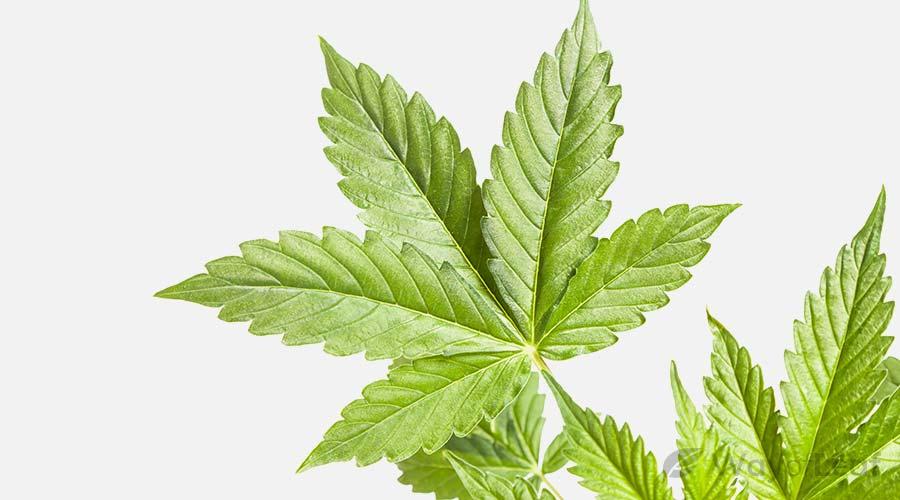 marijuana-seed-information