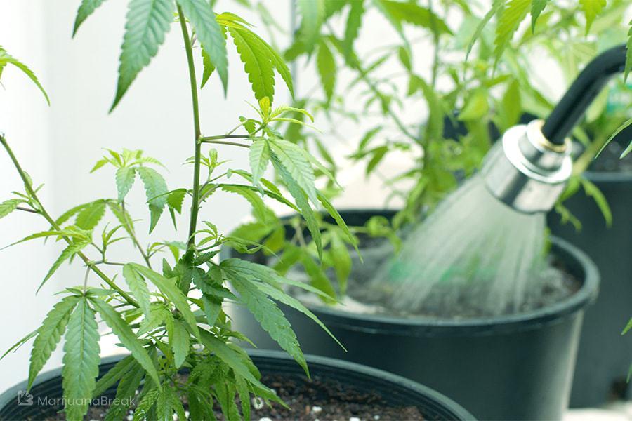 tips of growing green crack marijuana