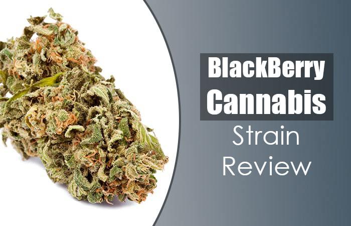 Blackberry Cannabis Strain Review