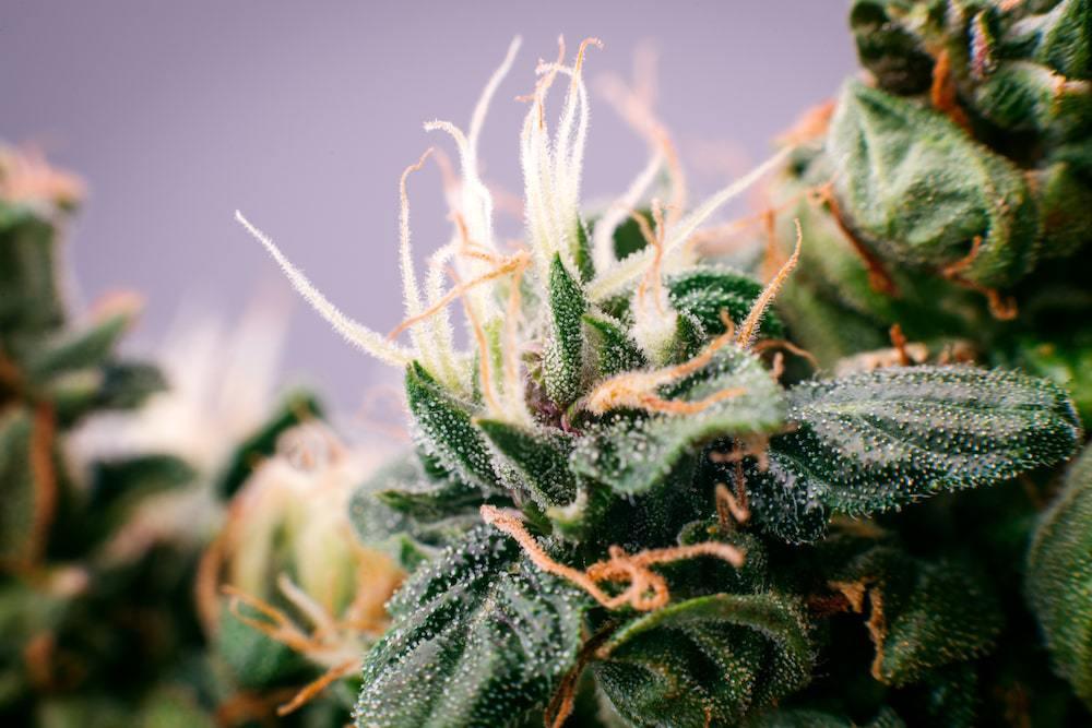 medical cannabis and sad