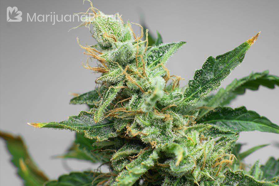 jasmine strain