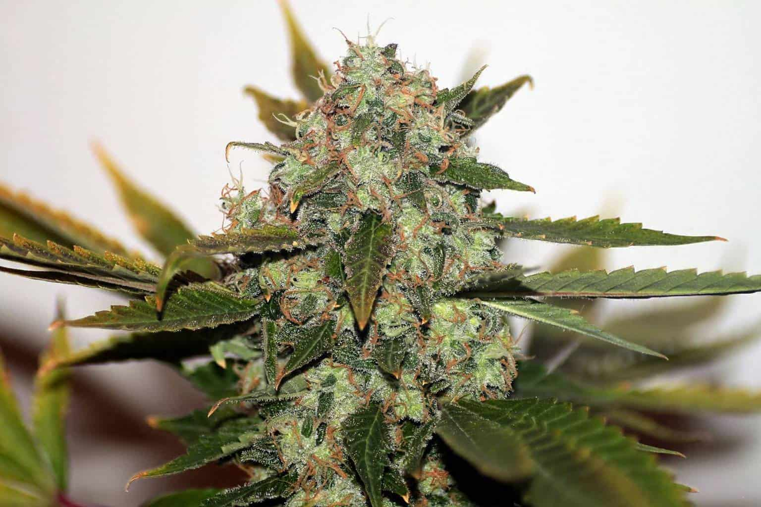 5 best medical marijuana strains to help boost your confidence