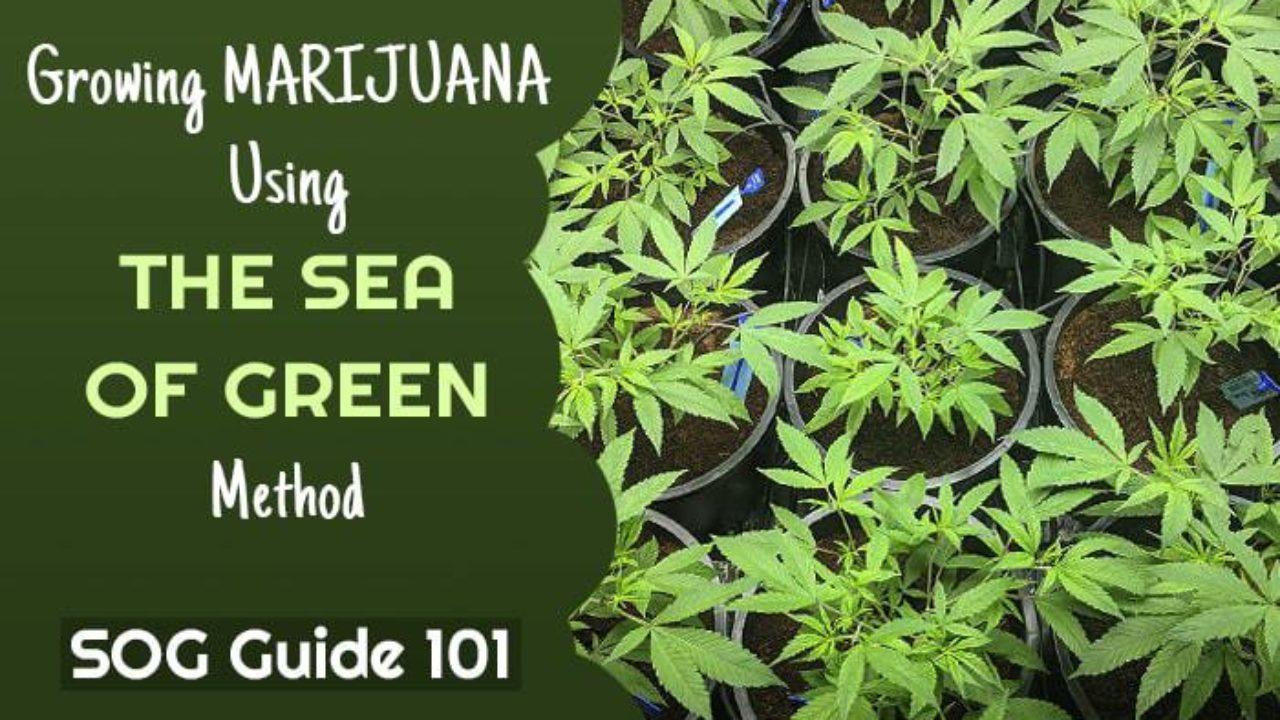 Growing Marijuana Using the Sea of Green Method [SOG Guide 101]