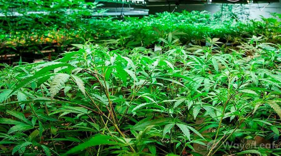 g13-strain-grow