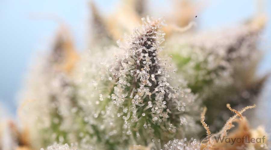 marijuana-for-crohns-disease