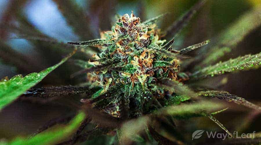 master-kush-cannabis-strain