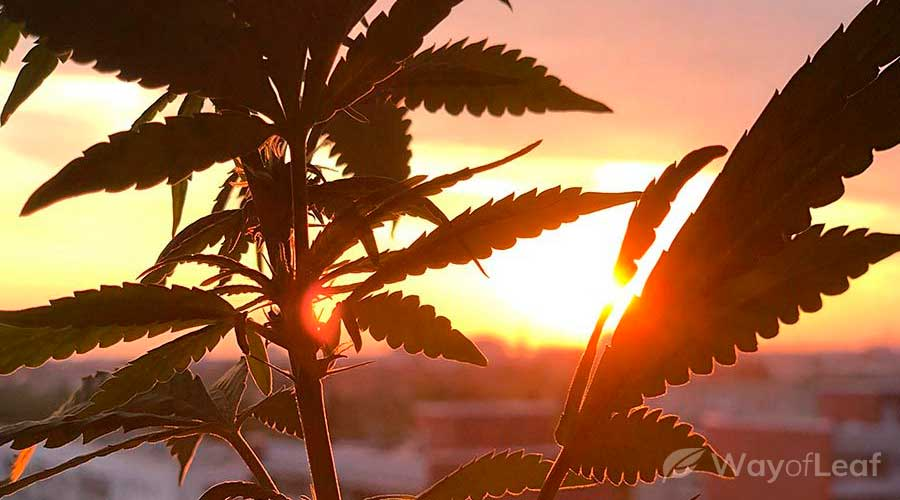 wol-article-pic-skunk-haze-aroma-taste-and-appearance