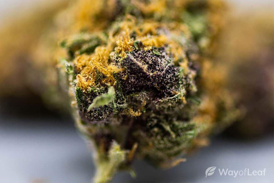 forbidden fruit strain review: effects on the mind