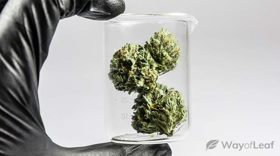 best-marijuana-strains-for-shingles