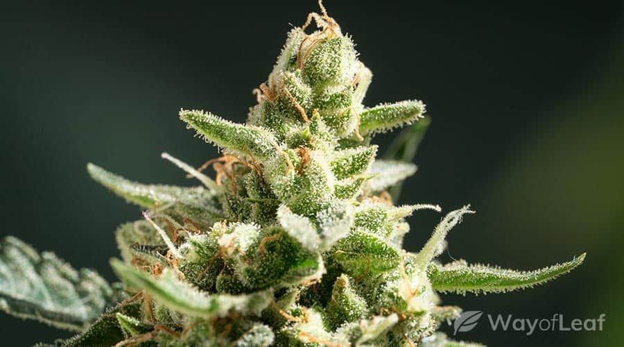 northern lights strain review: aroma, flavor, and appearance