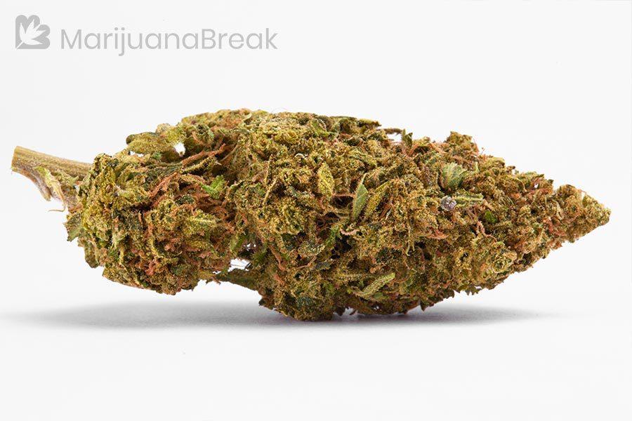 j1 strain