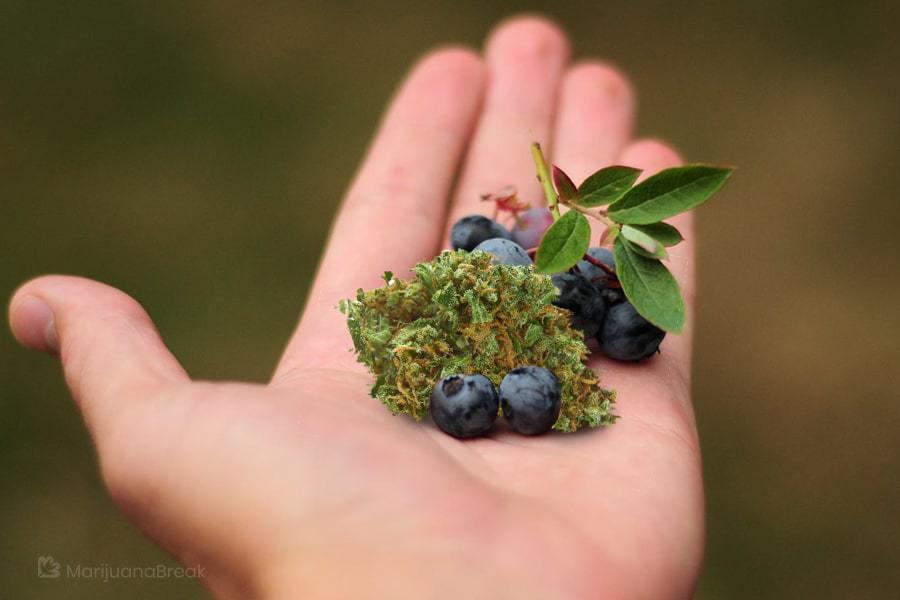 blueberry cookies strain