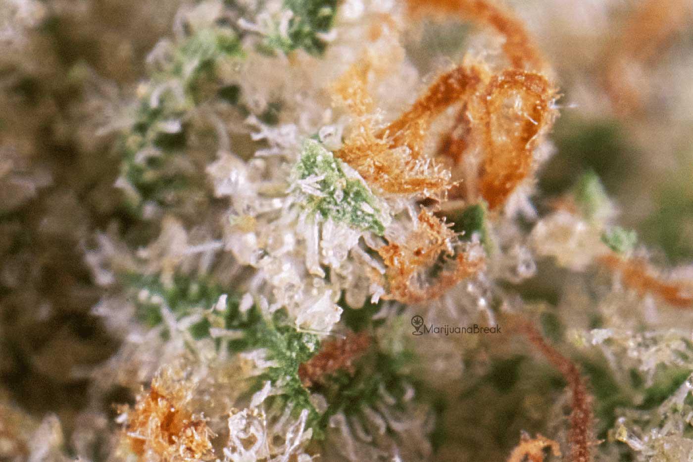 Ghost Train Haze Marijuana