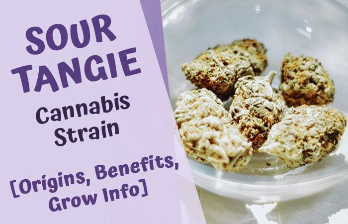 sour tangie cannabis strain