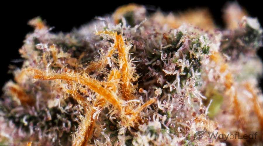 blackberry-strain