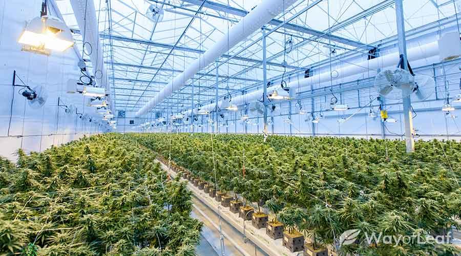 biggest-marijuana-bud