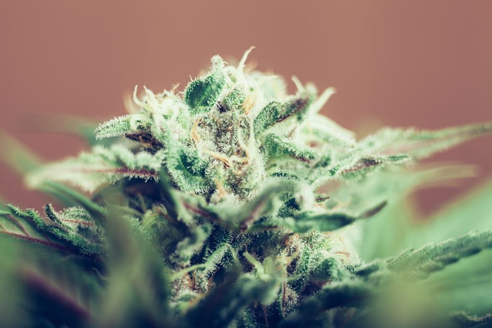 Medical Cannabis Strain