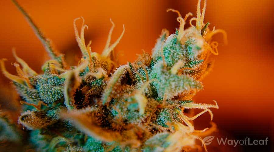 ancient-weed-strains