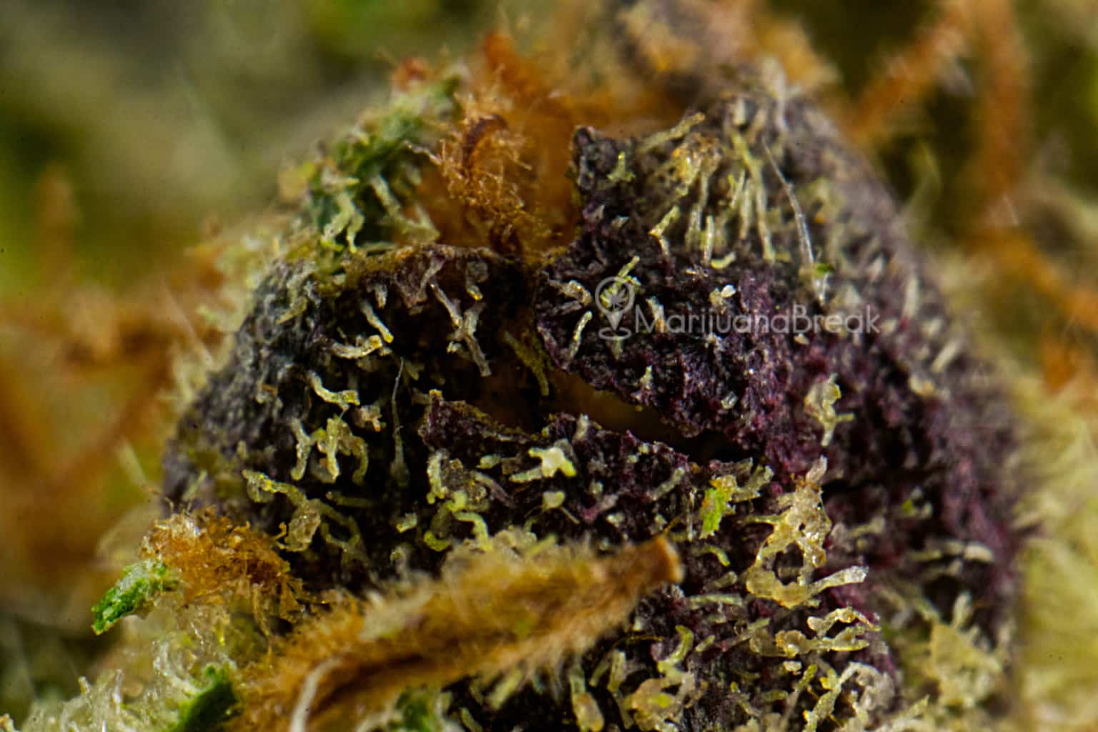 how to grow purple weed: the step-by-step process