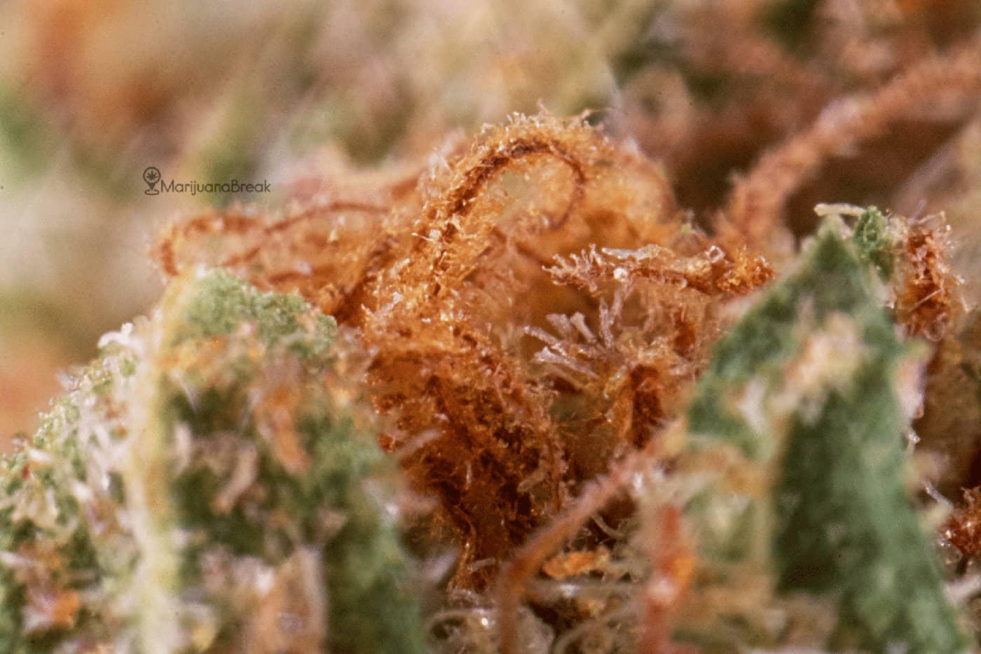 Harlequin Marijuana Strain
