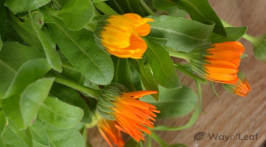 calendula leaves