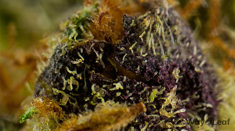 Controlling Humidity on Your Granddaddy Purple Grow