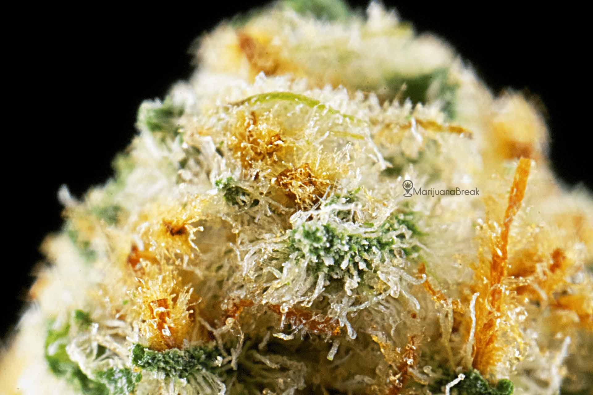 cannatonic macro marijuana