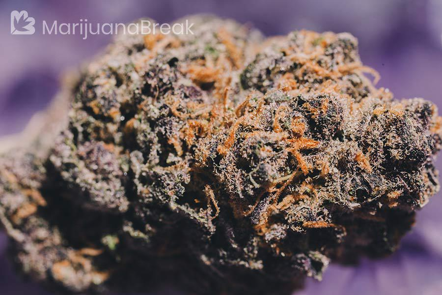 mendocino purps strain