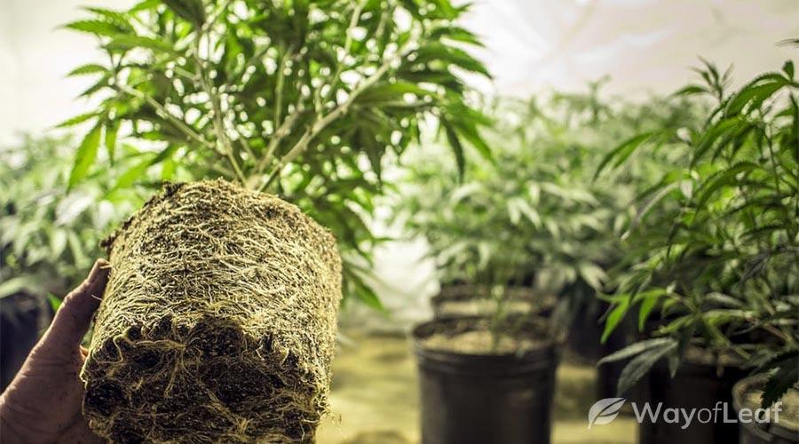 cannabis career grow room