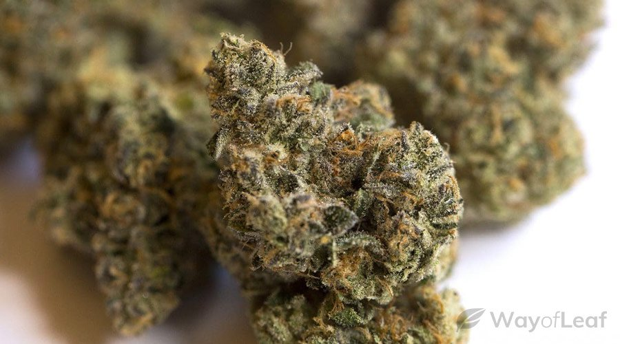 tahoe og kush – the stay at home strain