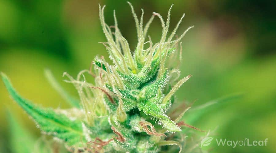 white widow review: aroma, flavor, and appearance